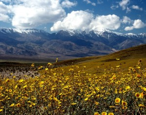 death-valley-in-bloom-with-wildflowers-after-an-extremely-wet-year
